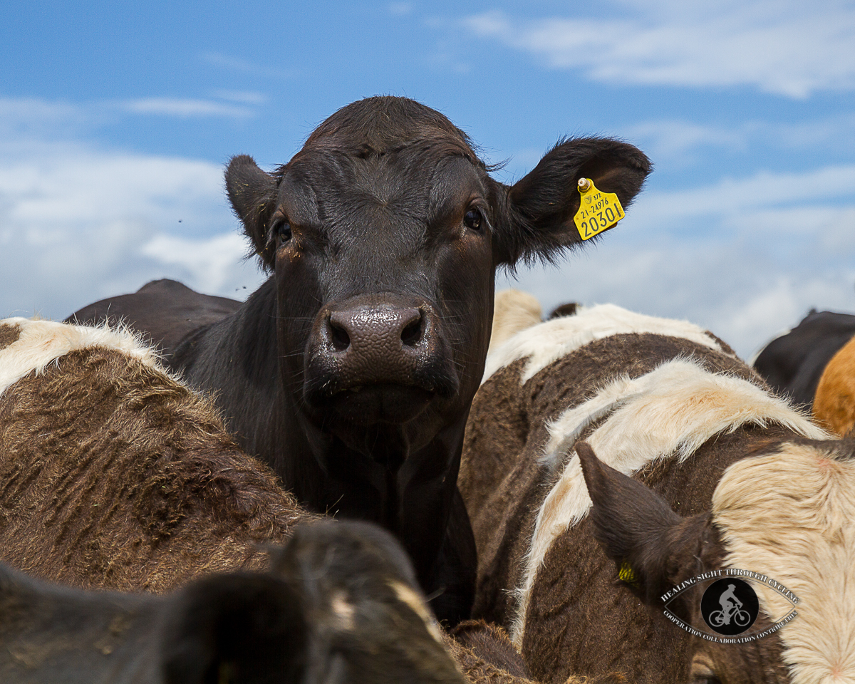 Curious cow in a herd