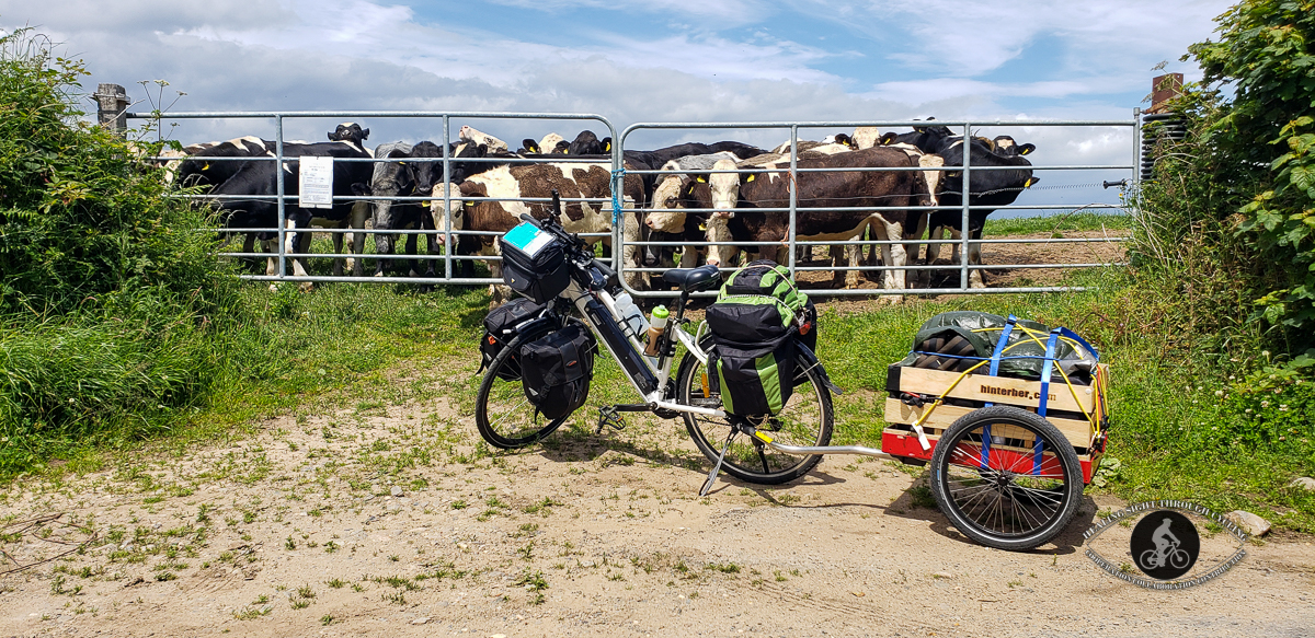 bicycle in front of cows