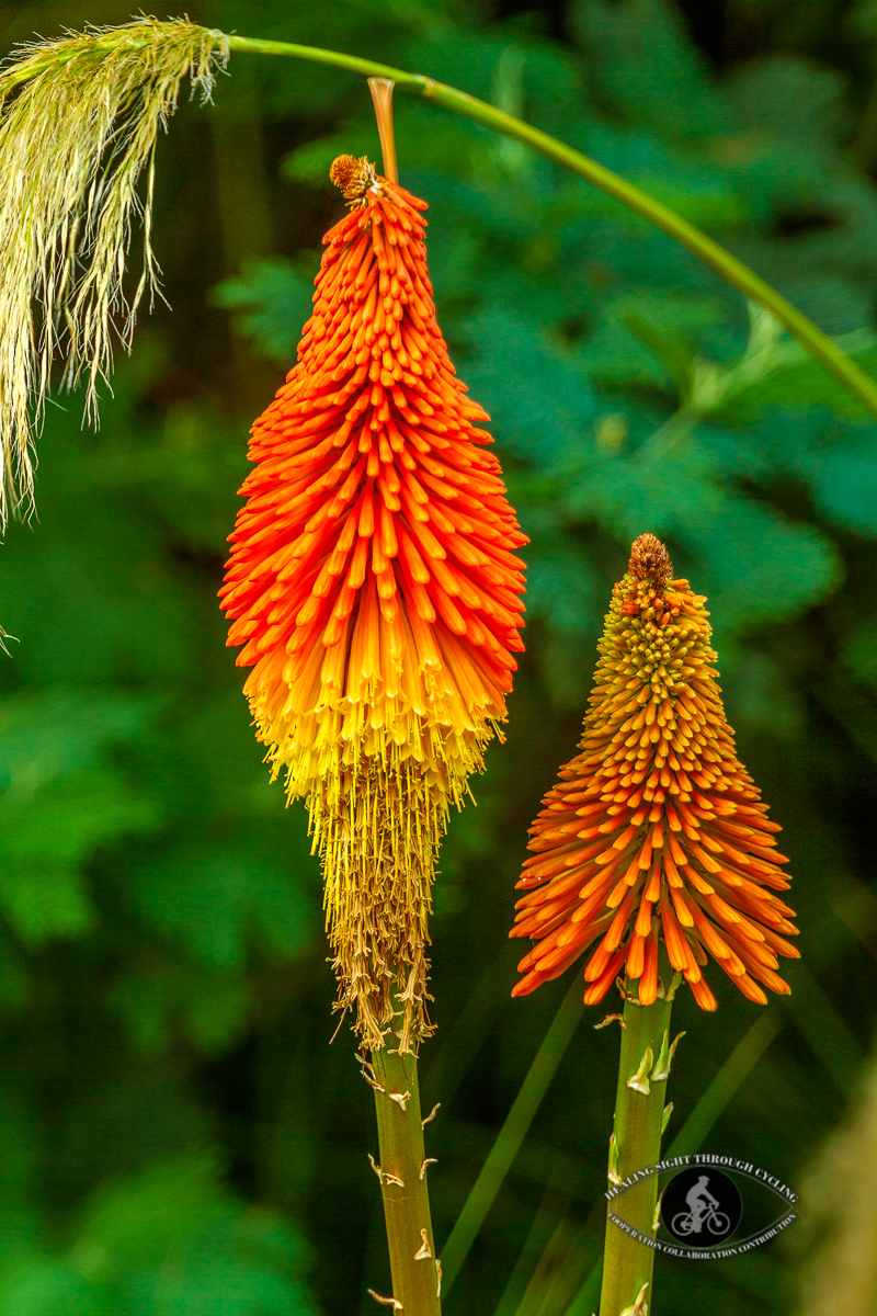 Orange flowers - Tritoma red hot poker
