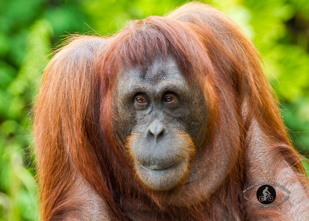 Orangutan with a smile - portrait