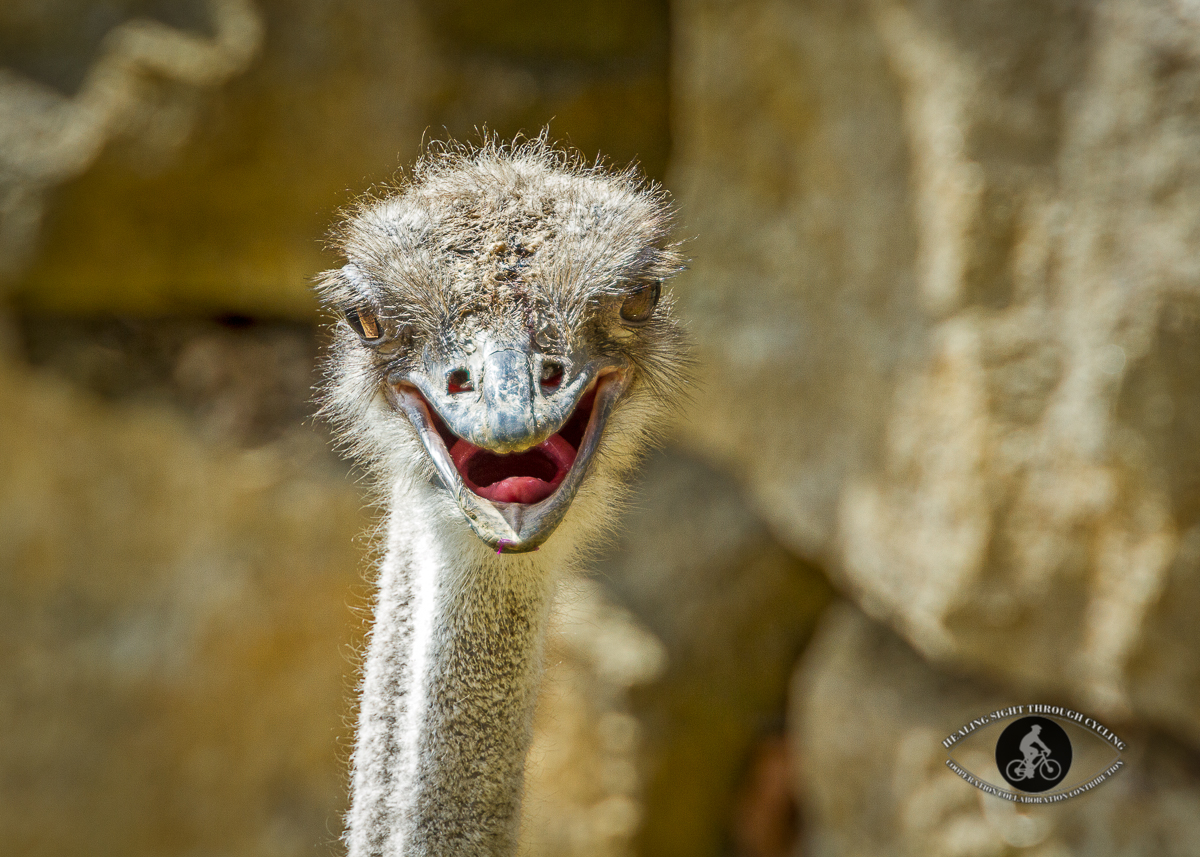 Ostrich laughing