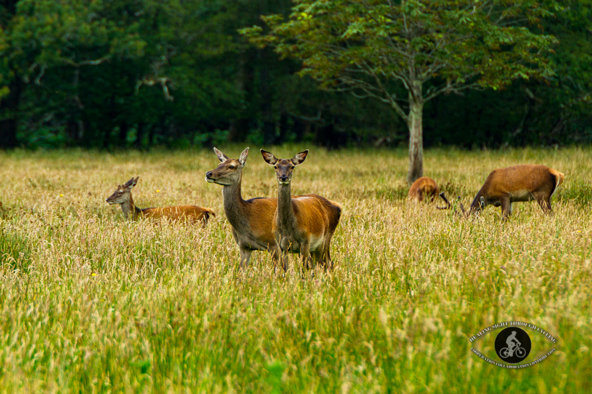 Red deer in Killarney National Park - County Kerry - 2
