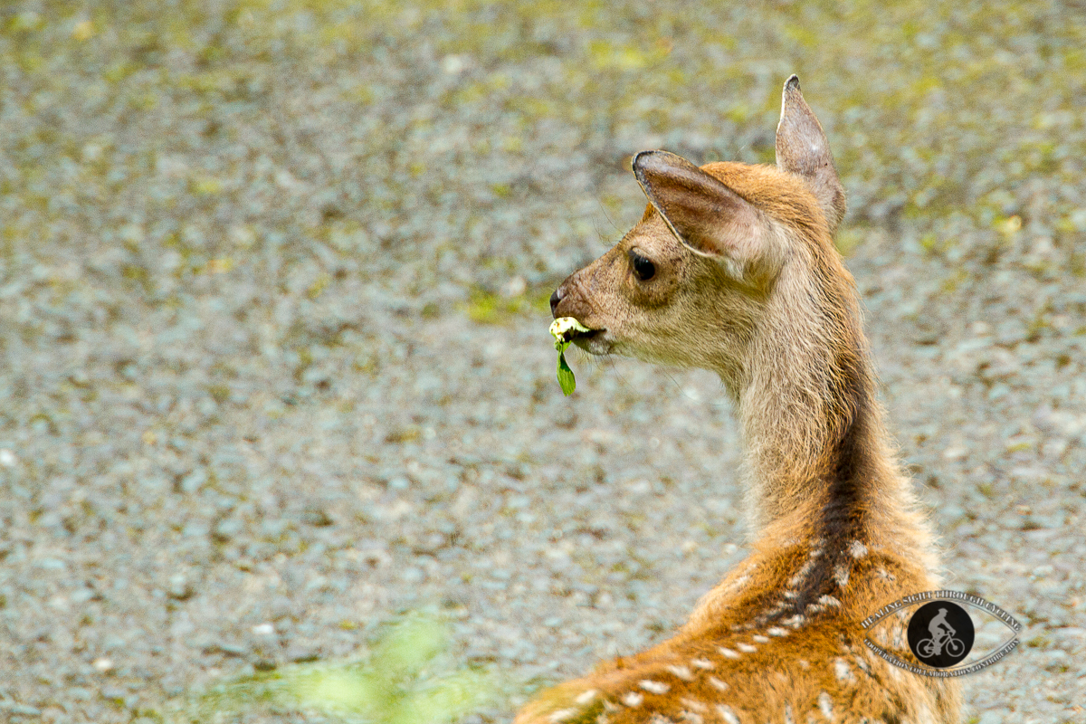 Red deer in Killarney National Park - County Kerry - Bambi eating a leaf