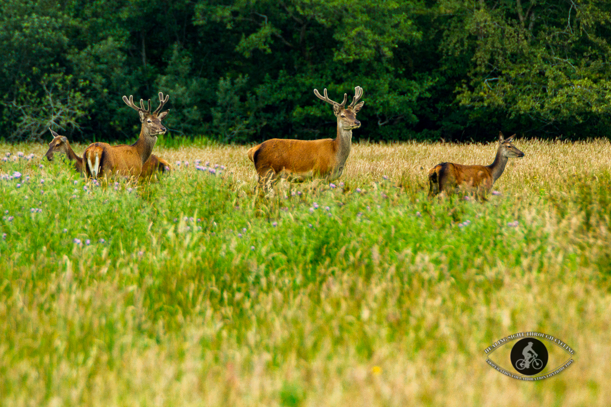 Red deer in Killarney National Park - County Kerry