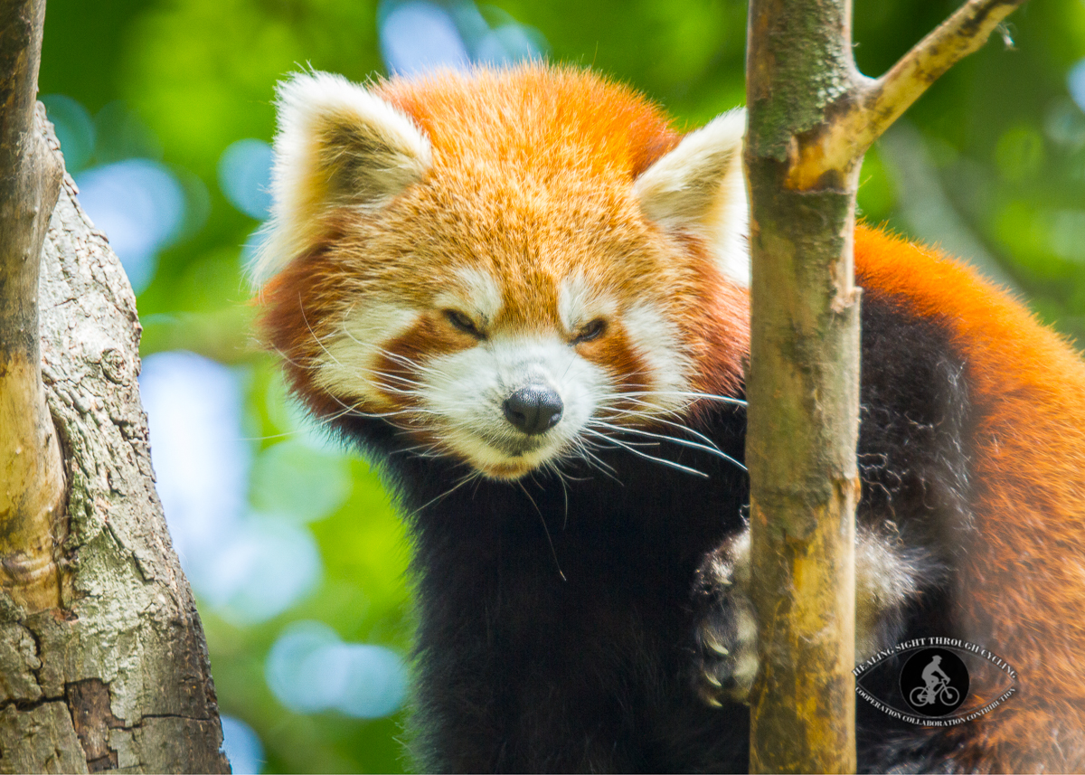 Red panda - funny smile