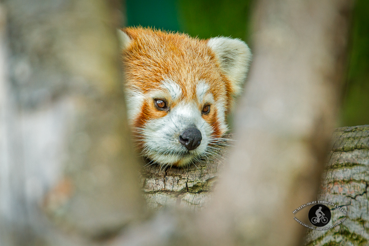 Red panda lying on a branch - face framed