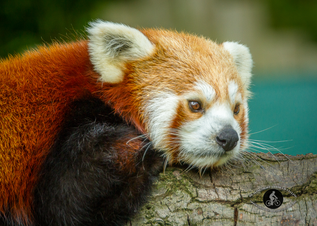 Red panda lying on a branch