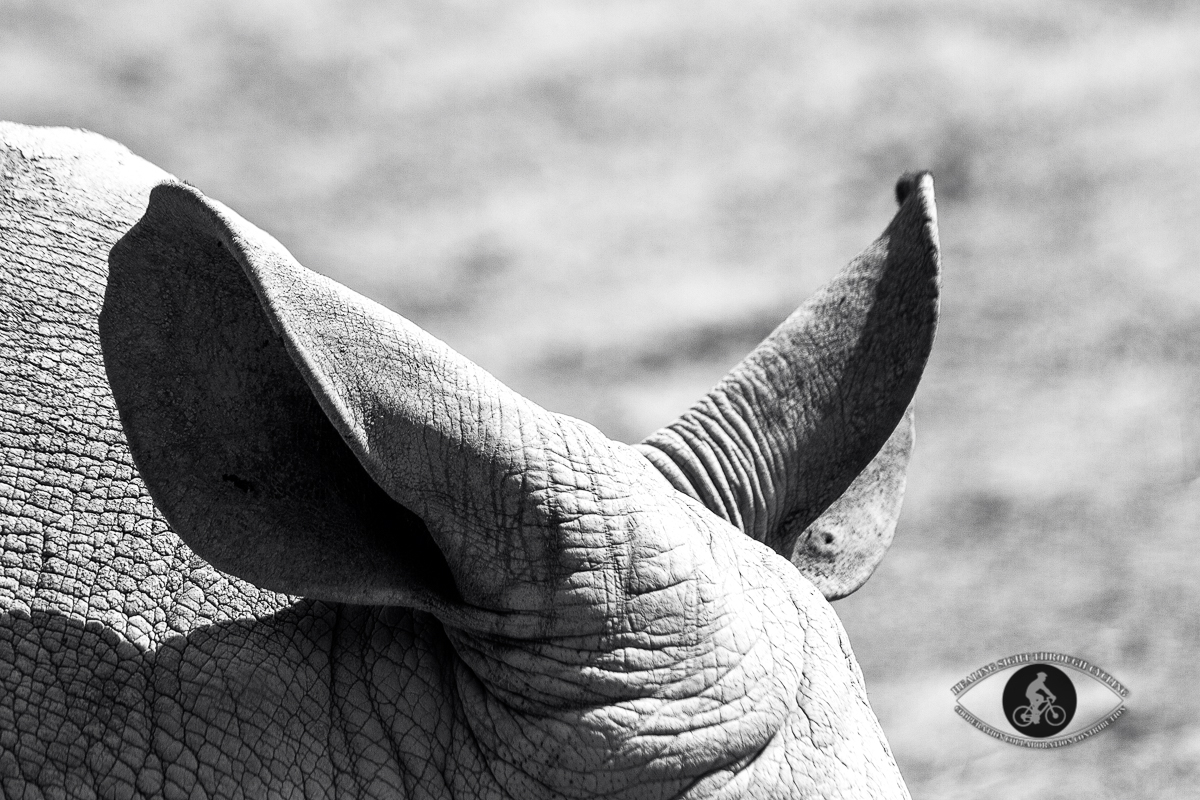 Rhinoceros ears - BW