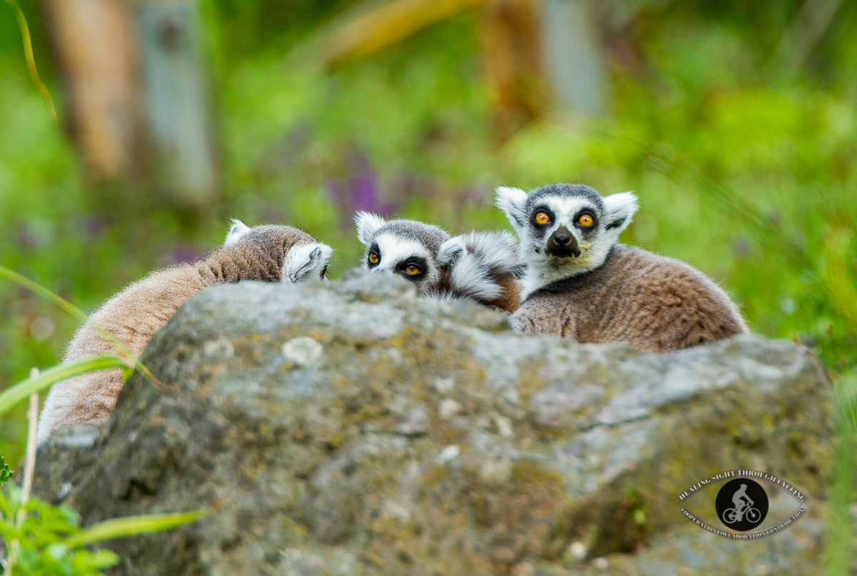 Ring Tailed Lemurs behind a rock
