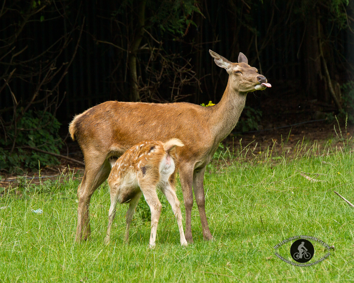 Deer nursing and pulling tongue