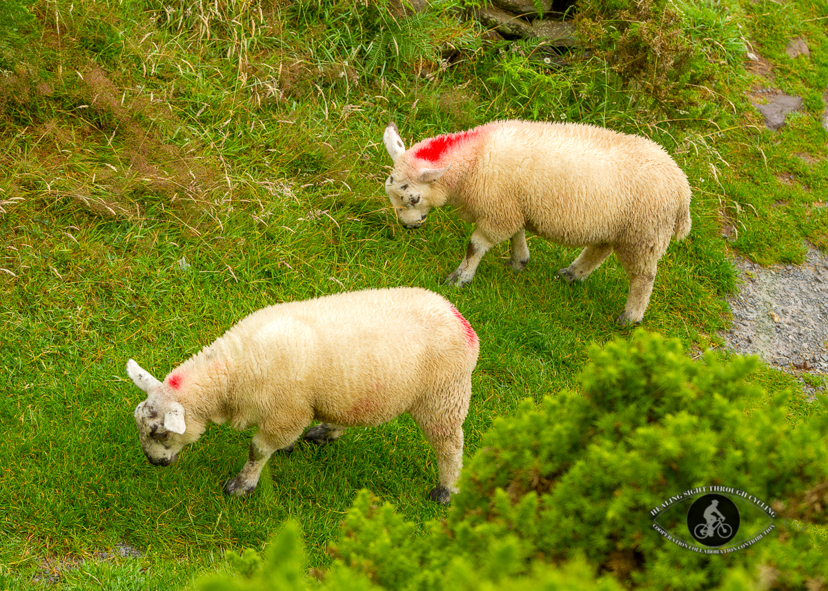 Lambs with red paint