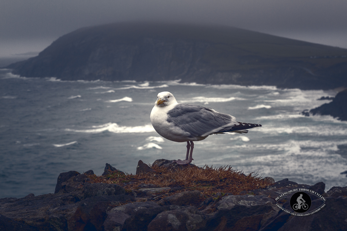 Seagull sitting on the rocks above a beach on the Dingle peninsula - foggy night
