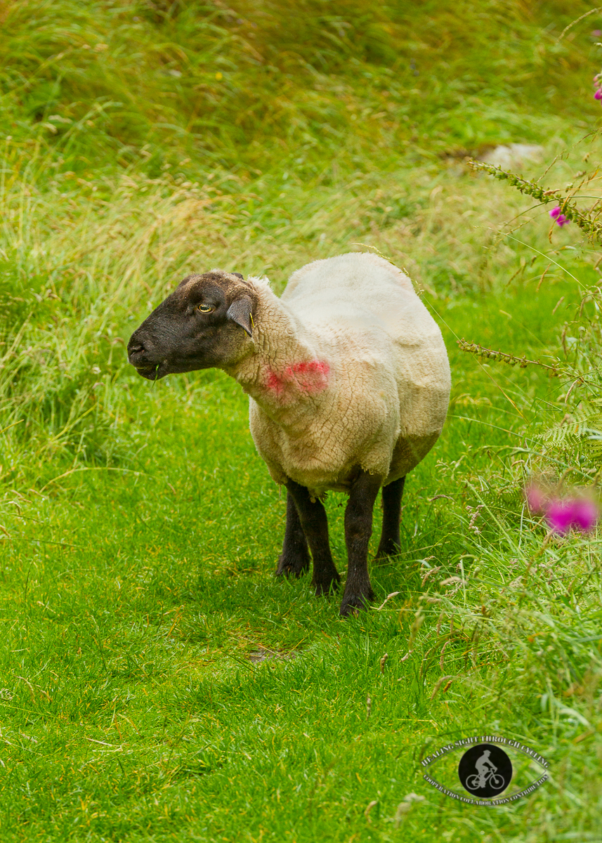Sheep in the grass of a fairy fort