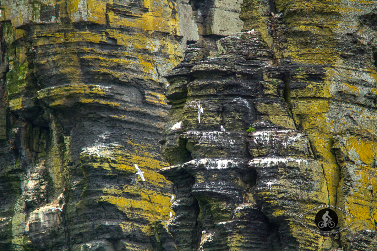 Herring Gulls flying in front of the Branaumore Sea Stack - Cliffs of Moher