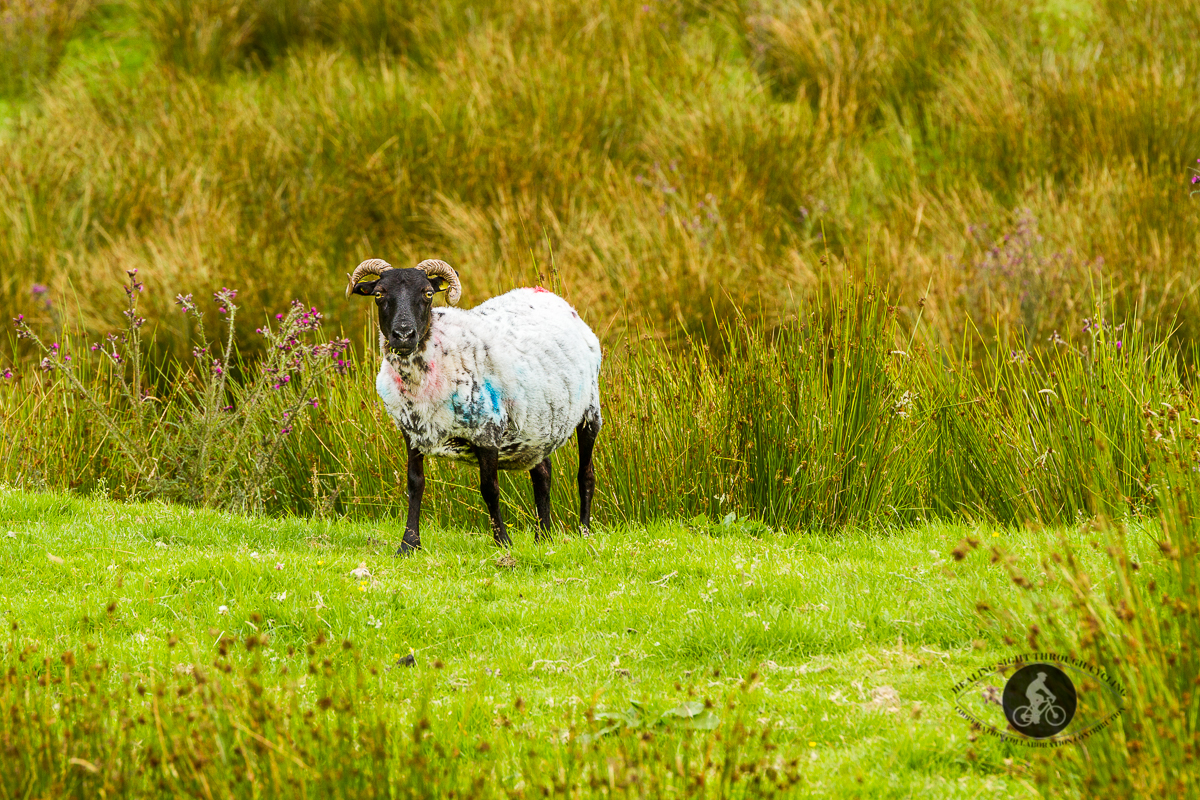 1 sheep in a field looking at camera