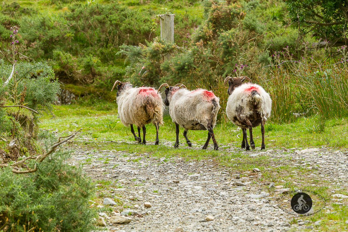 3 sheep with red dye walking away - County Galway