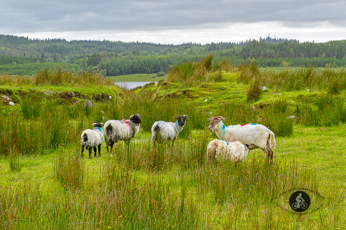 5 sheep in a field blue red dye - County Galway