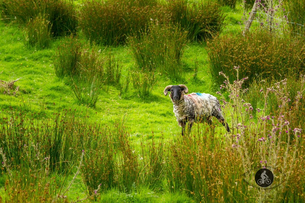 Sheep in the brush - looking at camera