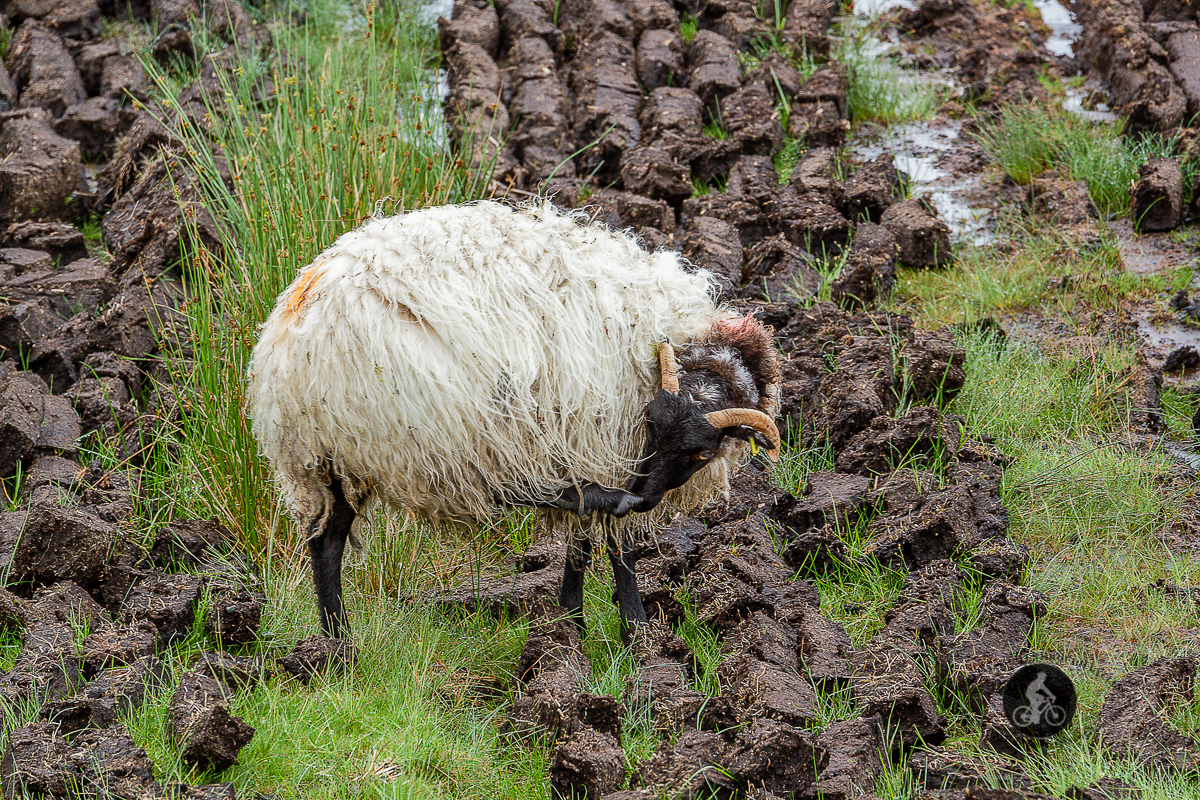 Sheep licking foot in turf field - County Galway