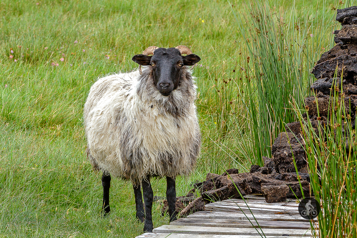 Sheep standing next to platform and drying turf in field - - County Galway