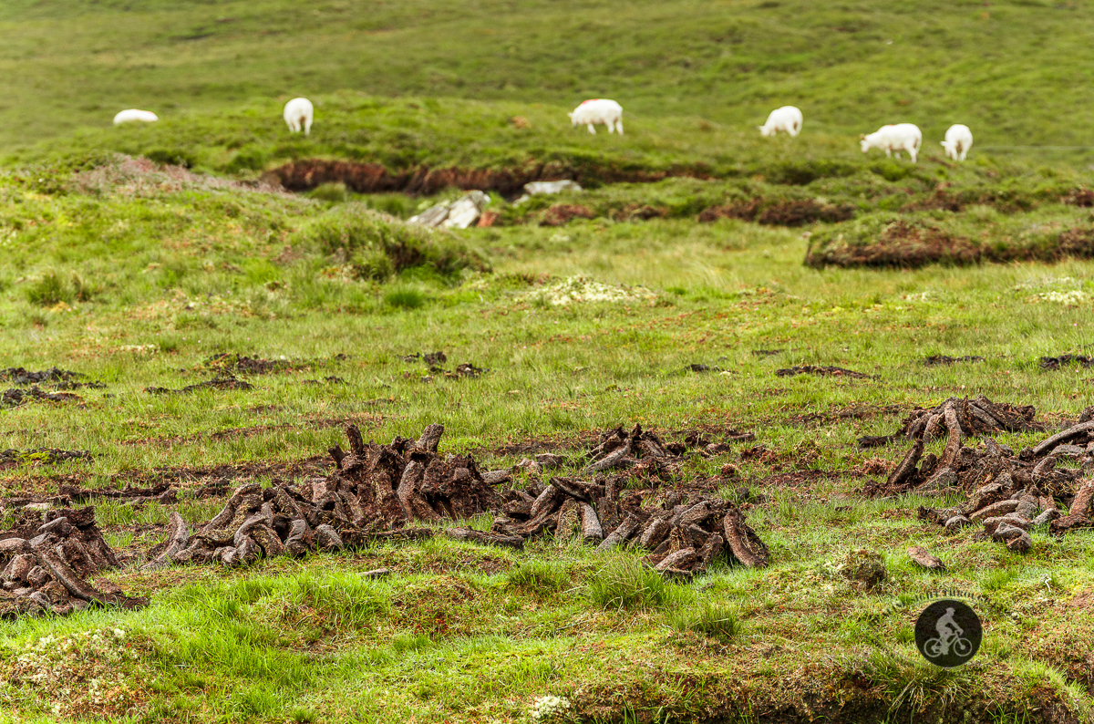 Turf drying in a field with sheep in the background - County Galway
