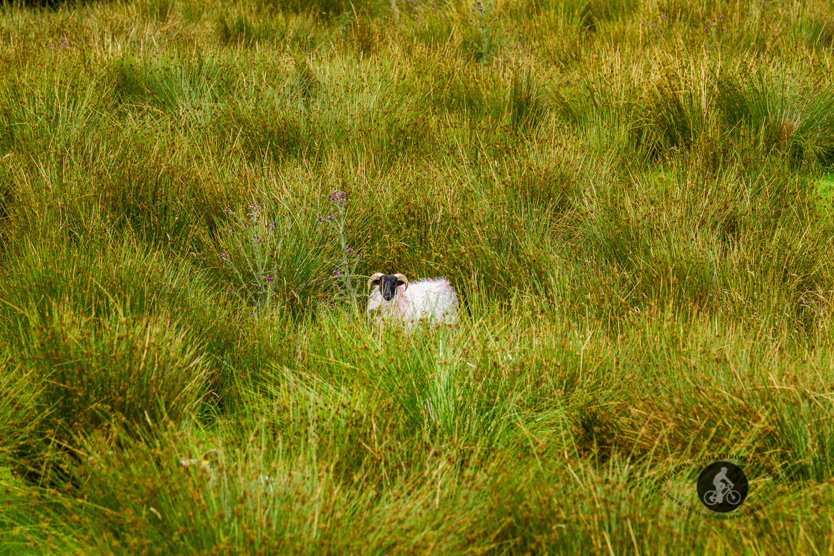 Wheres Waldo the Sheep - hiding in the grass