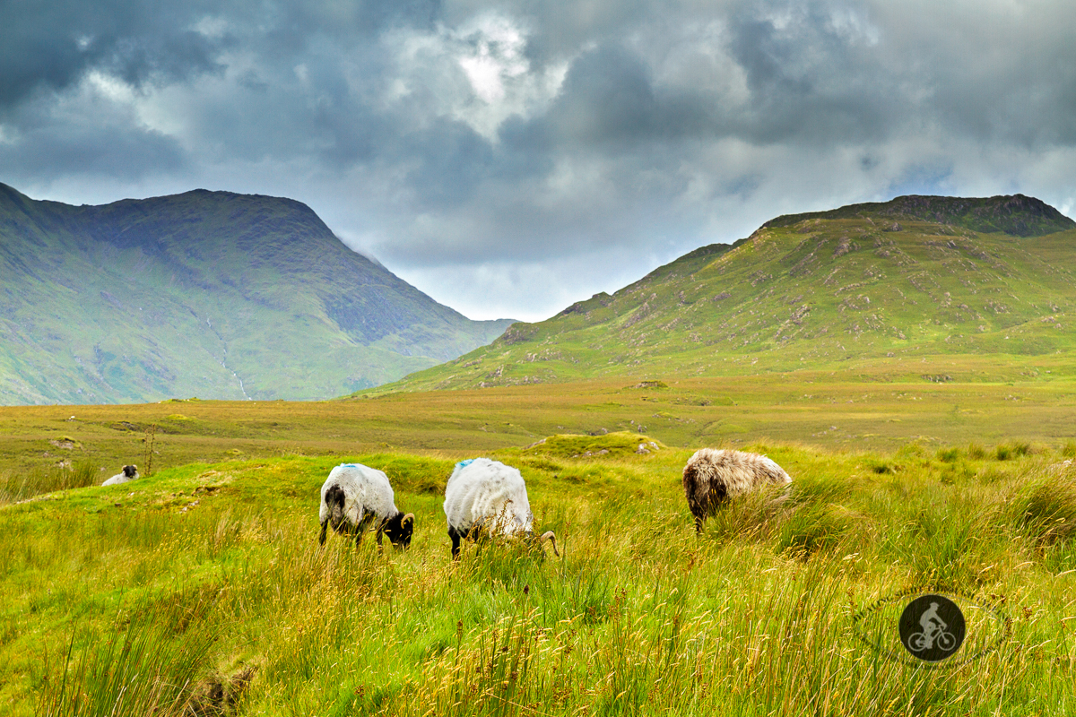 Sheep grazing in front of the Twelve Ben Mountains - County Galway