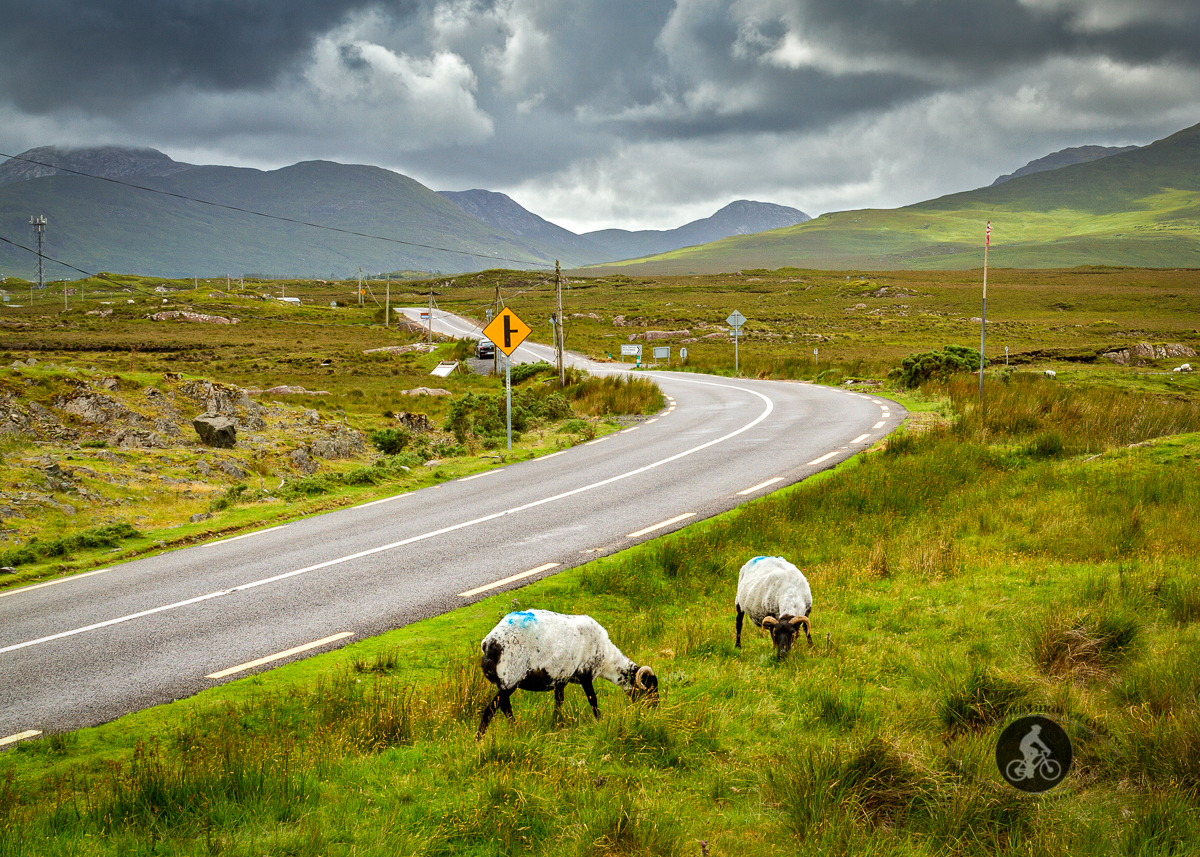 Sheep grazing in front of the Twelve Ben Mountains on N59 - County Galway - 2