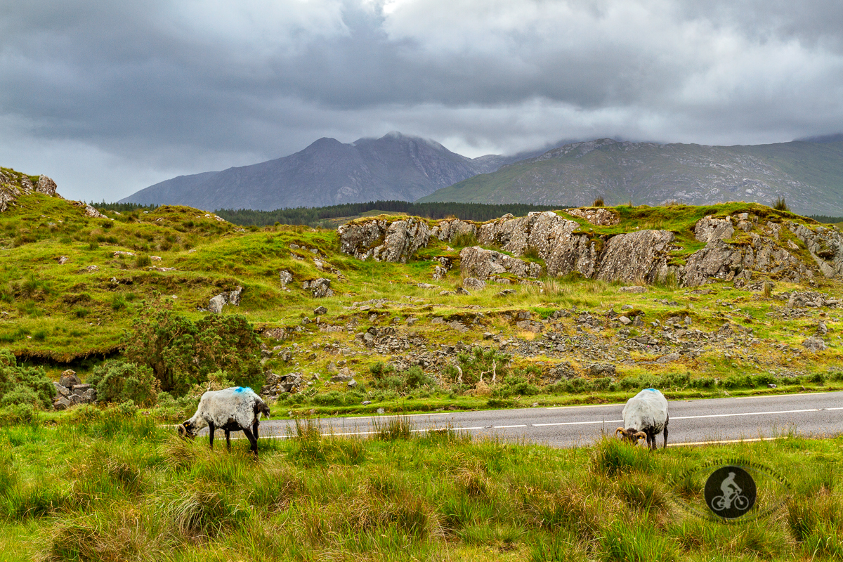 Sheep grazing in front of the Twelve Ben Mountains on N59 - County Galway