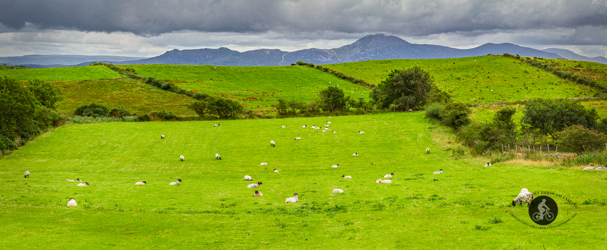 Field of sheep and mountains in background - County Mayo - large pano