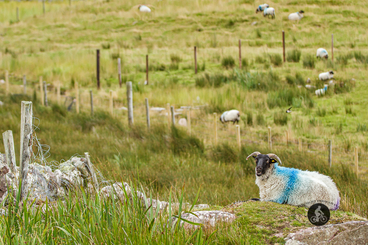 Sheep with blue and purple smiling at the camera sitting in front of field with blurred sheep - County Mayo