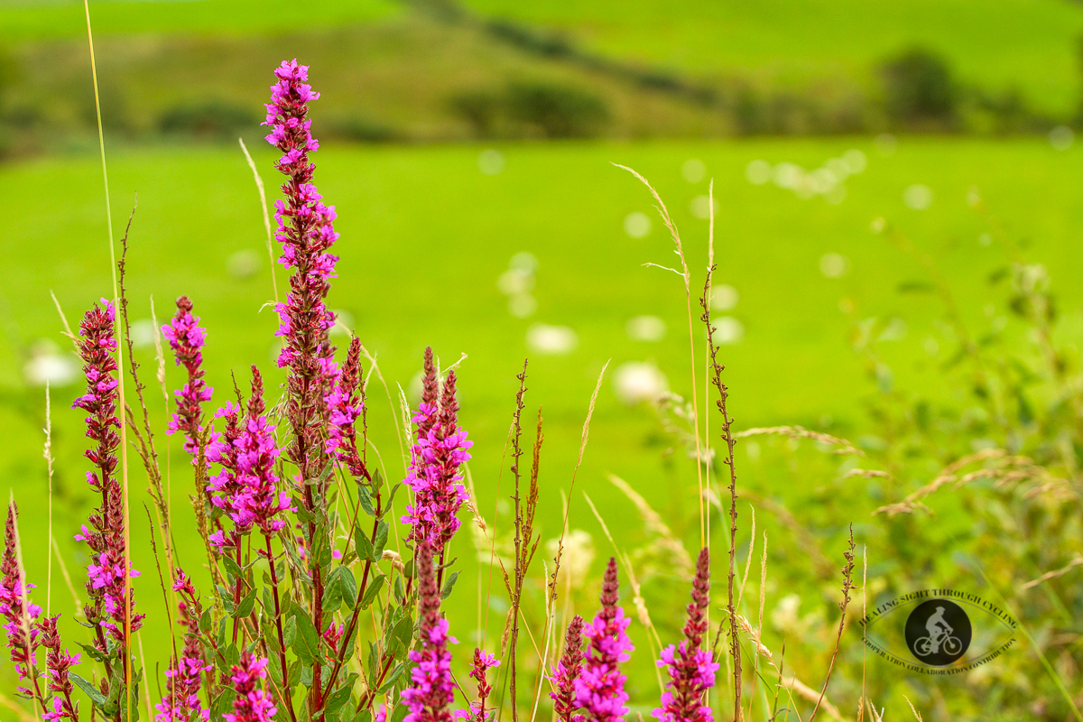 Weeds and flowers in front of blurred field of sheep and mountains in background - County Mayo - 2