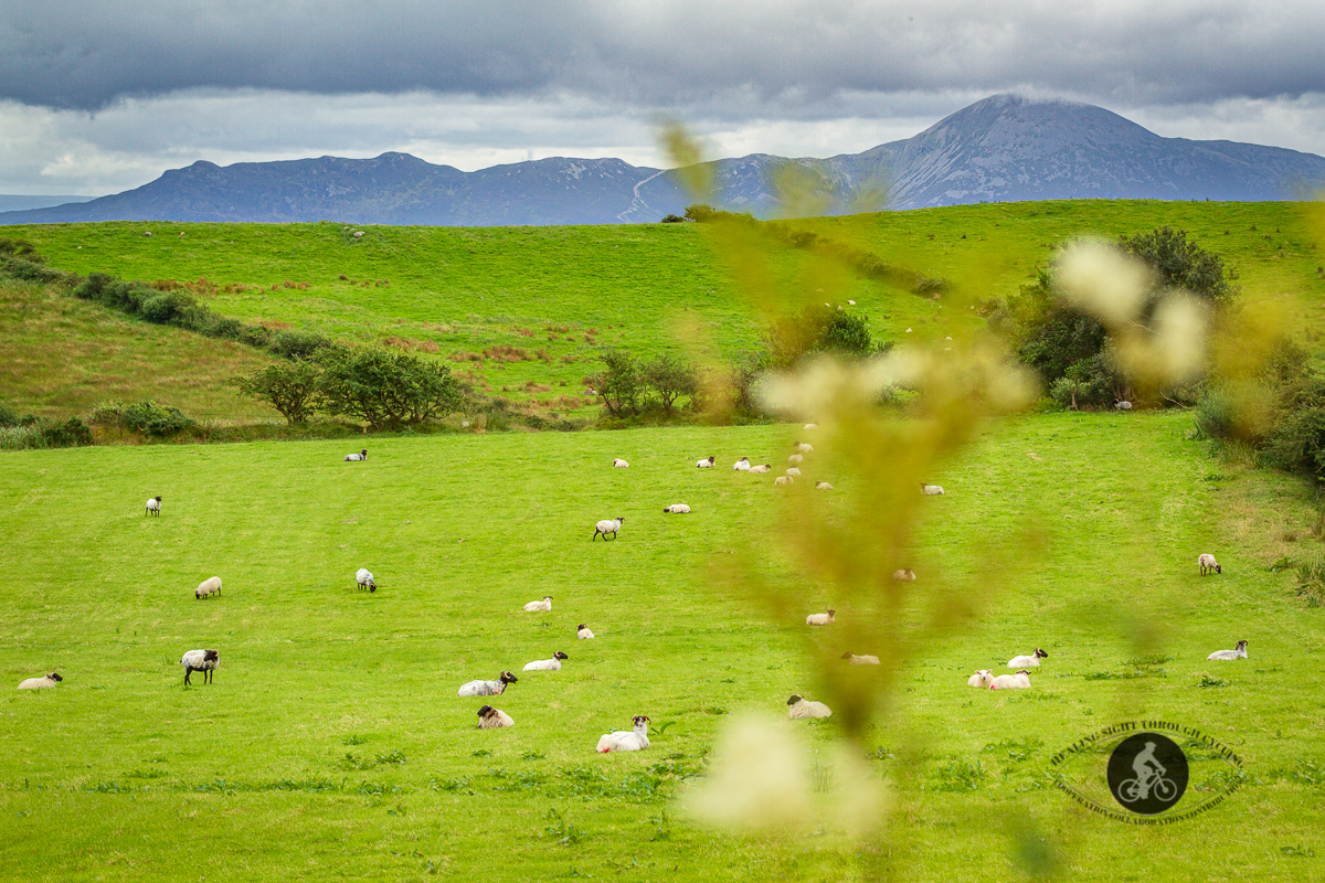 Weeds blurred in front of field of sheep and mountains in background - County Mayo