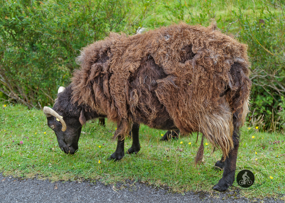Brown Guinness sheep with raggedy coat grazing