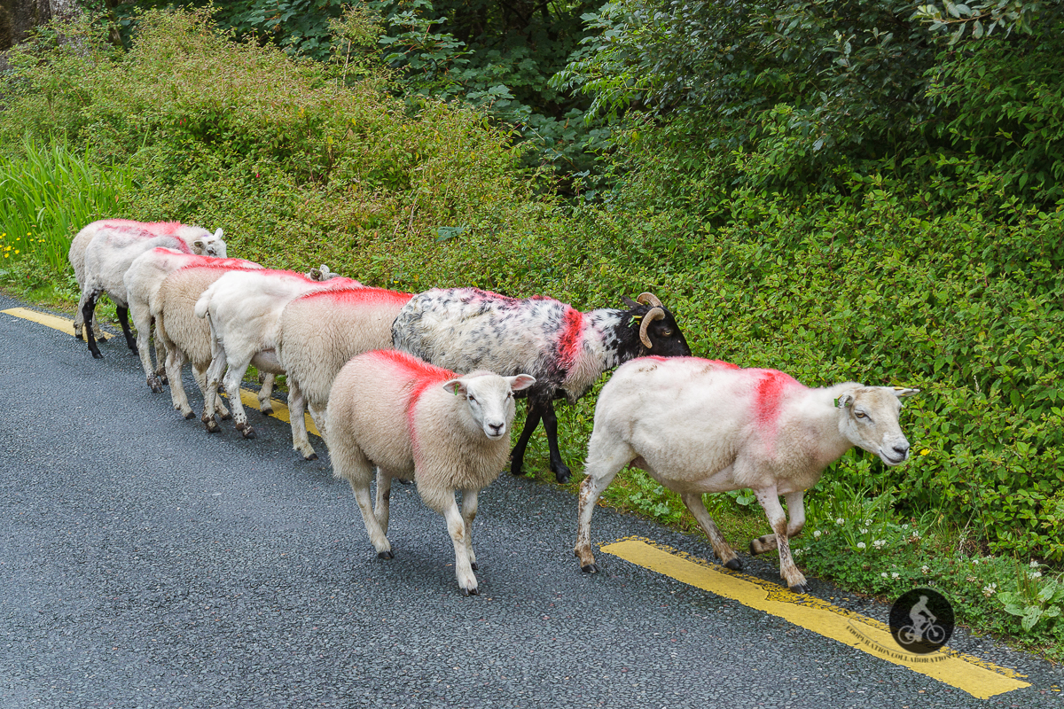 Sheep walking on the side of the road - County Mayo