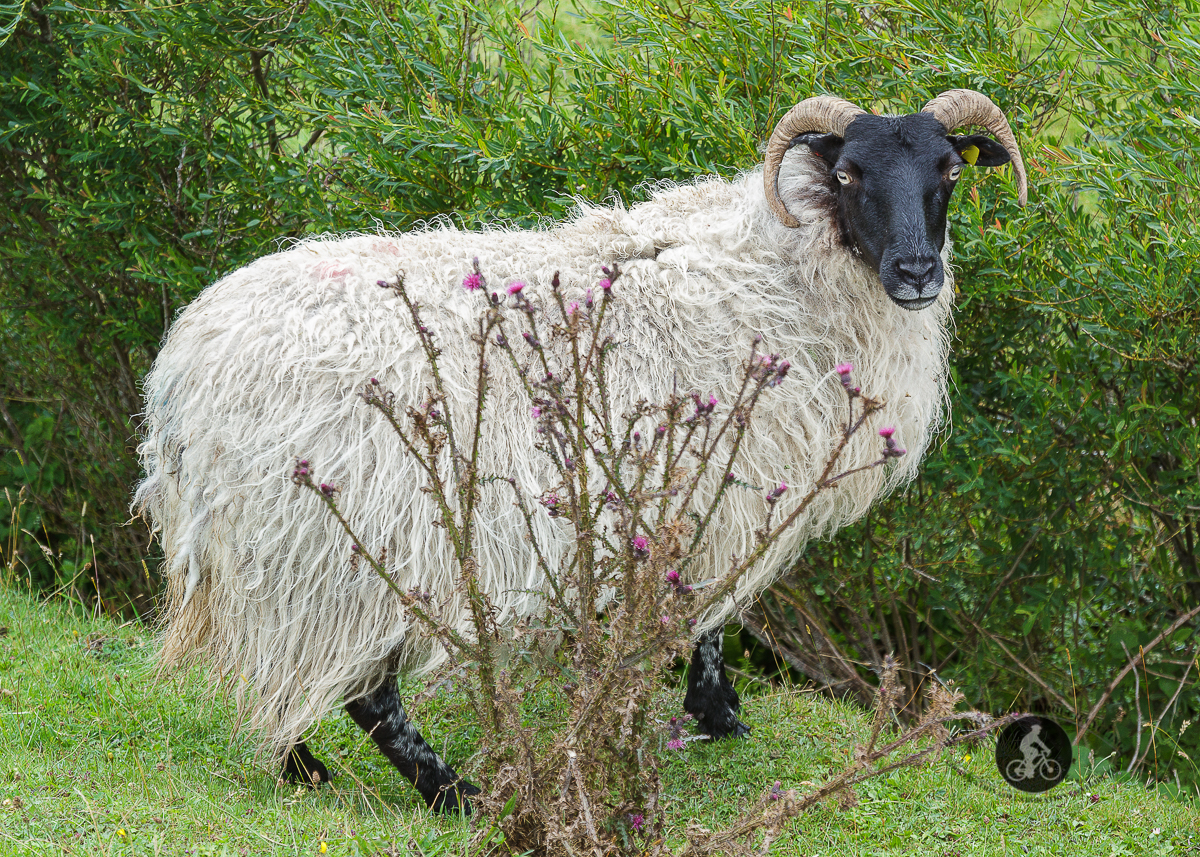 White sheep looking at camera hiding behind shrubbery
