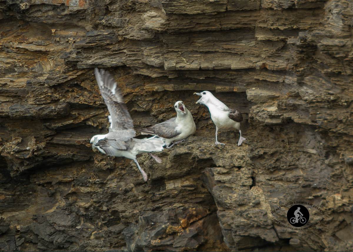 Seagulls squaring off on the cliffs of Dun Briste Sea Stack - North County Mayo - 4